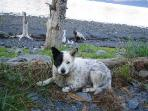 Buster - a blue heeler/border collie mix