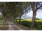The long umbrell pine lined driveway to Casa bel Posto