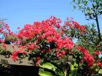 Bouganvillea of many colors