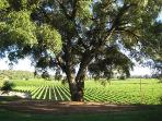 Cork Oak on knoll above estate vineyards. You are invited to stroll through our estate vineyards.