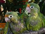 Our Neighbors baby green parrots