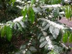 Coffee trees blooming....looks like the branches are full of snow. The fragrance fills the air.