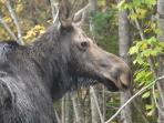 watch for the Moose in the roadways