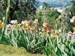 Iris show in Florence in May