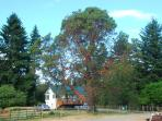 The Arbutus tree in front of the guest house
