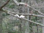 Our resident White Squirrel!  We are famous for white squirrels in our area.