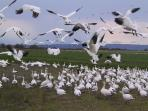 Snow geese taking flight west of Conway on Fir Island