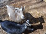 apple and blossom american pygmy goats