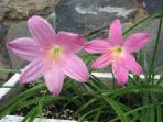 Rose  lilies in our garden