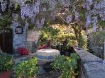 under the pergola - fully bloomed wisteria