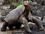 Lonesome George, famous tortoise at Charles Darwin Station, walking distance from Torre mar Building