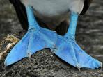 Blue footed Boobie feet