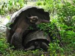 Giant Tortoises in the wild. Easy to arrange a trip to the highlands of Santa Cruz.