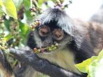 Local wild Spider Monkey, there are more than one!