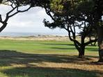Monterey Cypress grace the golf course