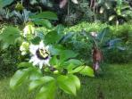 Beautiful edible gardens (Passion Fruit Blossom)