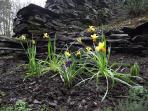 Rockery Suite Garden - '...a host of golden daffodils' - early Spring (Gary Linley)