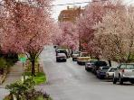 Beautiful Cherry Blossoms in the neighborhood of Capitol Hill