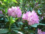 Hybrid Rhododendron Blooming in Late May right outside the Guest House