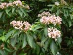 Mountain Laurel Blooming in Late May in the north yard