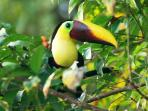 Toucans love our papayas and are often seen here.