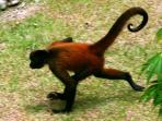 Spider monkey is timid to cross the yard