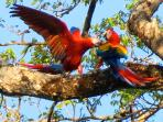 Scarlet Macaws visiting the grounds