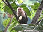 White faced monkeys are our friendly neighbors.