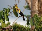 Chestnut-mandibled Toucan--a daily visitor