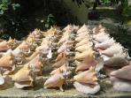 Conch shells we've been collecting...