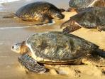 In front of the condo we have more giant green sea turtles than anyplace I have ever seen.
