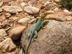 local Collared Lizard