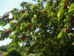 Pick your own cherries from our many trees