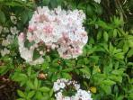 Spring - Mountain Laurels abound on the property