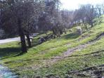 Sheep in the olive groves on the road up to Castello
