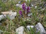 Broad-leaved orchid (mid-June)