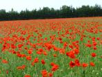 Spectacular field of poppies as you enter Ste Même