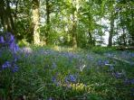 Blue bell wood  and copse to rear