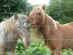 Crystal and Tiny, our cute miniature horses. They live in the paddock with the sheep, John and Diane