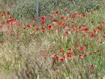 Poppies in May 2013