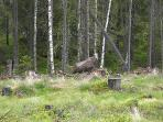 moose in the back garden, best moose spotting is in the forest near the village of By at 4 km