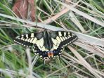 Swallowtail butterfly at Hickling (thanks to Anne & Rodney!)