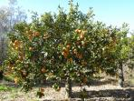 One of our orange trees