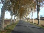 plane tree avenue at the approach to the village