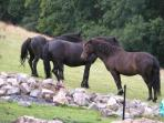 Dartmoor ponies in the field next door