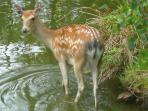 A resident deer enjoying a paddle in the fishing lake!