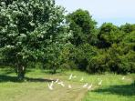 EGRETS SEARCHING FOR FOOD