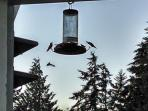 Hummingbird Fest on your covered balcony most months