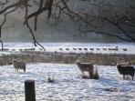 Herdwick sheep on the move in Eskdale valley.