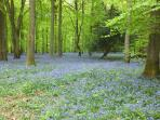Forest of Dean - bluebell carpets